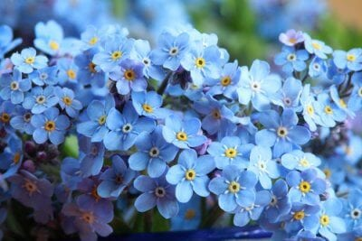 Forget me not bunch