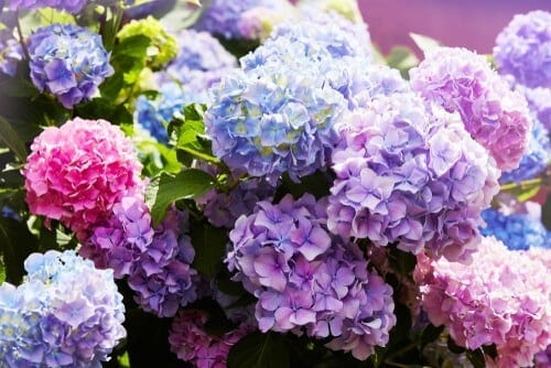 Bunch of colourful hydrangea flowers